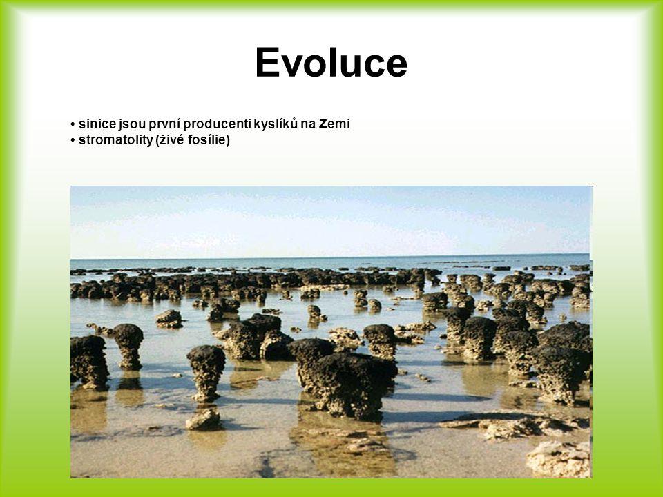 Sinice jedny z nejstarších druhů organismu, které dosud žijí na naší planetě jednobuněčné, bezjaderné rostliny, jejichž tělo není rozlišeno na kořen, stonek a list, ale je tvořeno stélkou, často tvořící kolonie buňka obsahuje chlorofyl – fotosyntéza významní producenti jsou součásti planktonů (společenstvo drobných organismů ve vodě) rozmnožují se dělením
