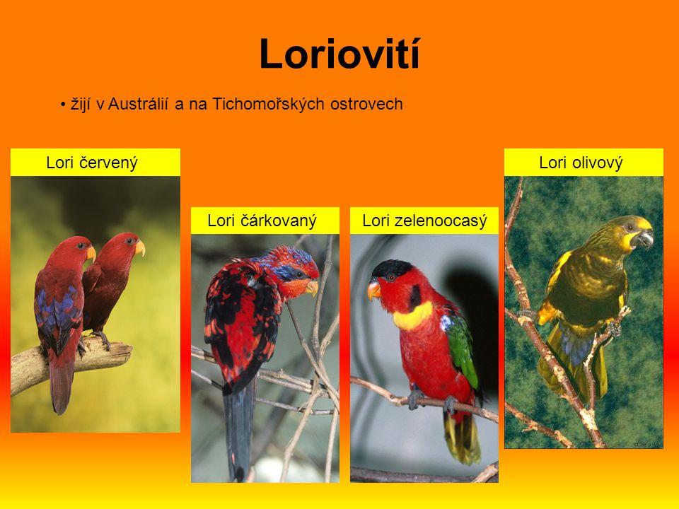 Lori červený Lori čárkovaný Lori zelenoocasý Lori olivový žijí v Austrálií a na Tichomořských ostrovech