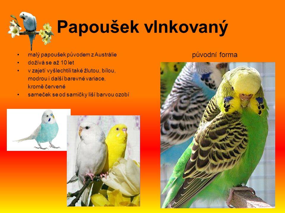 Papoušek vlnkovaný malý papoušek původem z Austrálie dožívá se až 10 let v zajetí vyšlechtili také žlutou, bílou, modrou i další barevné variace, krom