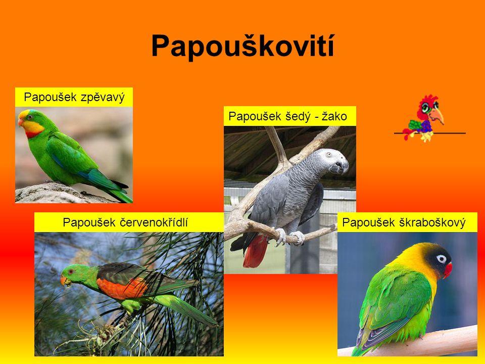 Papouškovití Ara ararauna Ara arakanga Ara zelený Ara zelenokřídlý