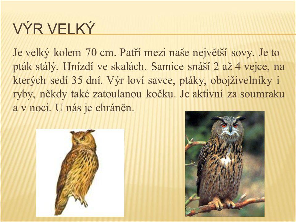VÝR VELKÝ Je velký kolem 70 cm. Patří mezi naše největší sovy. Je to pták stálý. Hnízdí ve skalách. Samice snáší 2 až 4 vejce, na kterých sedí 35 dní.