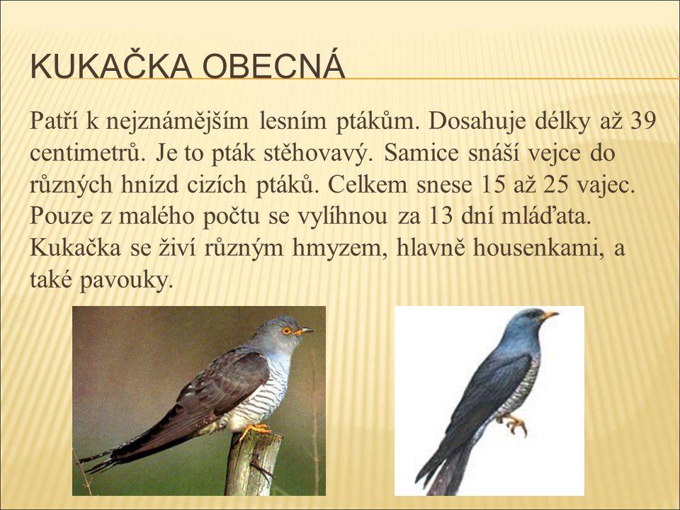 KUKAČKA OBECNÁ Patří k nejznámějším lesním ptákům. Dosahuje délky až 39 centimetrů. Je to pták stěhovavý. Samice snáší vejce do různých hnízd cizích p