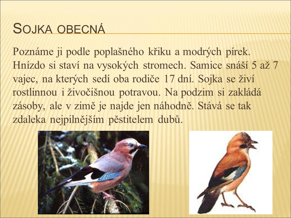 S OJKA OBECNÁ Poznáme ji podle poplašného křiku a modrých pírek. Hnízdo si staví na vysokých stromech. Samice snáší 5 až 7 vajec, na kterých sedí oba