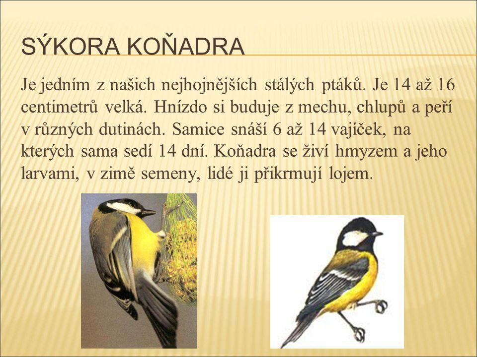 SÝKORA KOŇADRA Je jedním z našich nejhojnějších stálých ptáků. Je 14 až 16 centimetrů velká. Hnízdo si buduje z mechu, chlupů a peří v různých dutinác
