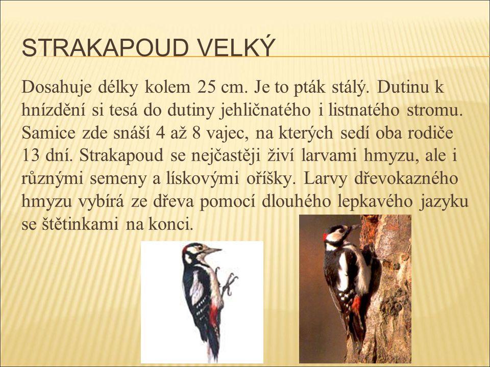 STRAKAPOUD VELKÝ Dosahuje délky kolem 25 cm. Je to pták stálý. Dutinu k hnízdění si tesá do dutiny jehličnatého i listnatého stromu. Samice zde snáší