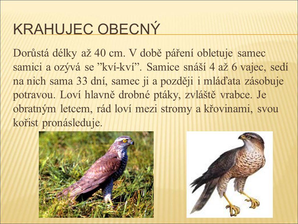 """KRAHUJEC OBECNÝ Dorůstá délky až 40 cm. V době páření obletuje samec samici a ozývá se """"kví-kví"""". Samice snáší 4 až 6 vajec, sedí na nich sama 33 dní,"""