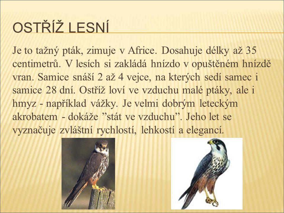 OSTŘÍŽ LESNÍ Je to tažný pták, zimuje v Africe. Dosahuje délky až 35 centimetrů. V lesích si zakládá hnízdo v opuštěném hnízdě vran. Samice snáší 2 až