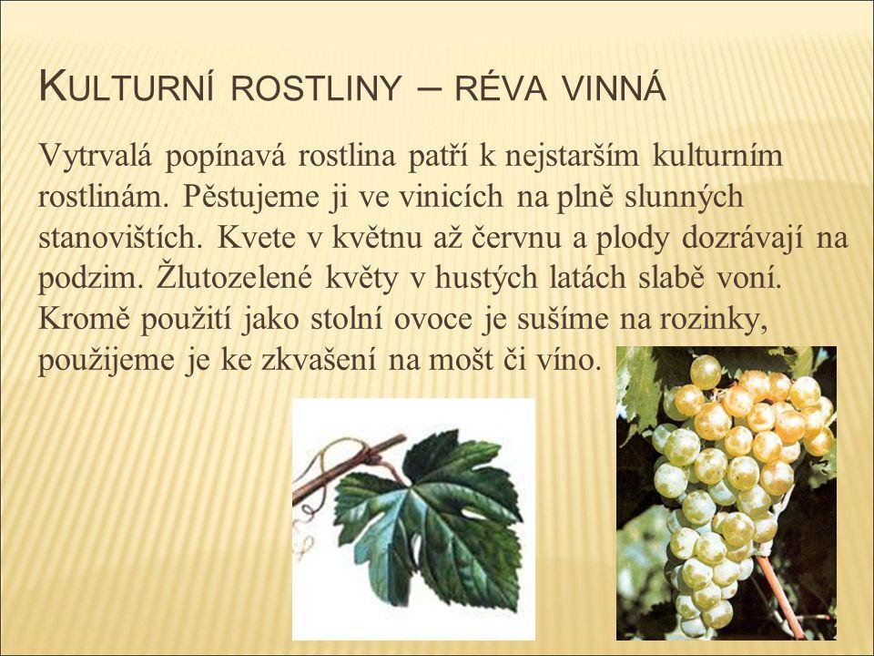K ULTURNÍ ROSTLINY – RÉVA VINNÁ Vytrvalá popínavá rostlina patří k nejstarším kulturním rostlinám. Pěstujeme ji ve vinicích na plně slunných stanovišt