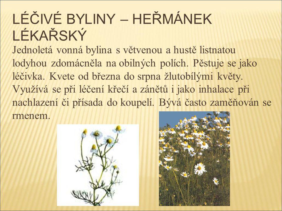 LÉČIVÉ BYLINY – HEŘMÁNEK LÉKAŘSKÝ Jednoletá vonná bylina s větvenou a hustě listnatou lodyhou zdomácněla na obilných polích. Pěstuje se jako léčivka.