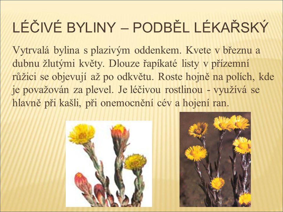 LÉČIVÉ BYLINY – PODBĚL LÉKAŘSKÝ Vytrvalá bylina s plazivým oddenkem. Kvete v březnu a dubnu žlutými květy. Dlouze řapíkaté listy v přízemní růžici se
