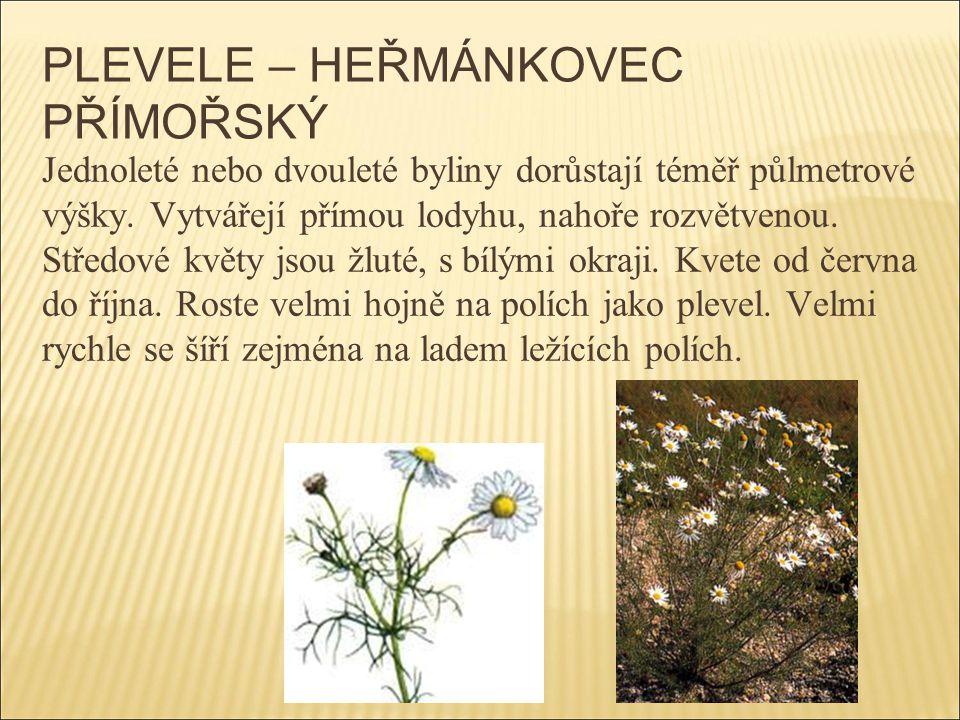 PLEVELE – HEŘMÁNKOVEC PŘÍMOŘSKÝ Jednoleté nebo dvouleté byliny dorůstají téměř půlmetrové výšky. Vytvářejí přímou lodyhu, nahoře rozvětvenou. Středové