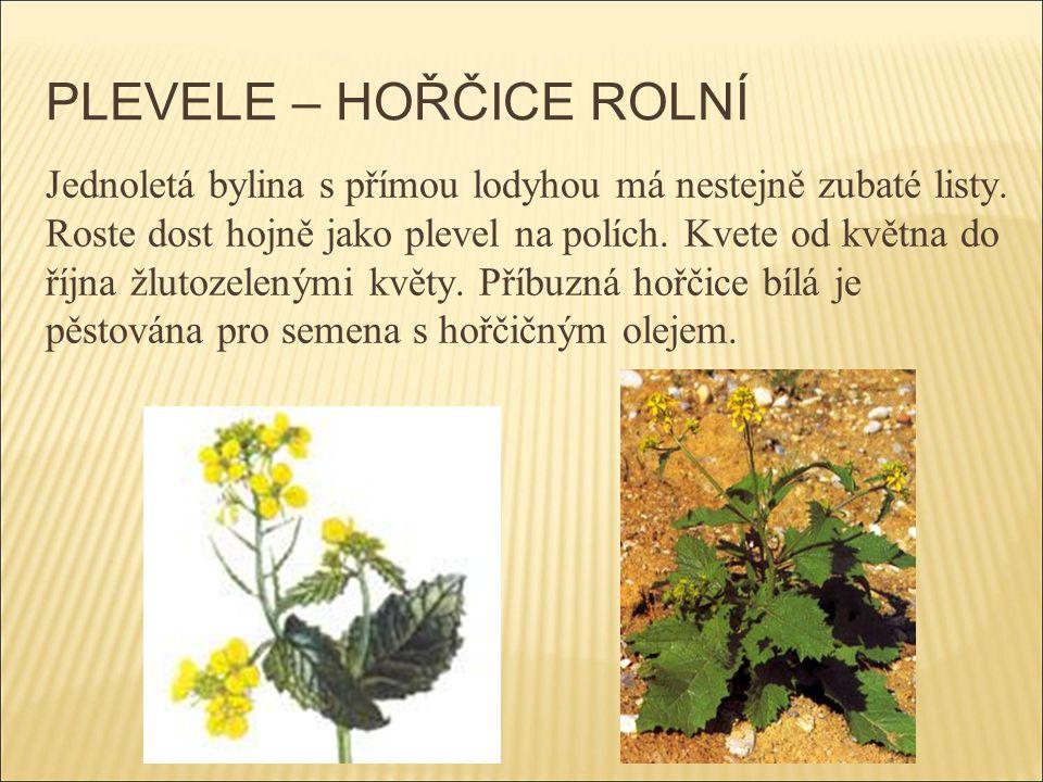 PLEVELE – HOŘČICE ROLNÍ Jednoletá bylina s přímou lodyhou má nestejně zubaté listy. Roste dost hojně jako plevel na polích. Kvete od května do října ž