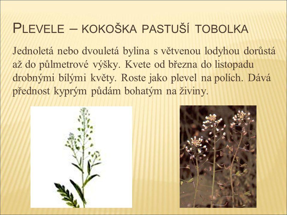 P LEVELE – KOKOŠKA PASTUŠÍ TOBOLKA Jednoletá nebo dvouletá bylina s větvenou lodyhou dorůstá až do půlmetrové výšky. Kvete od března do listopadu drob