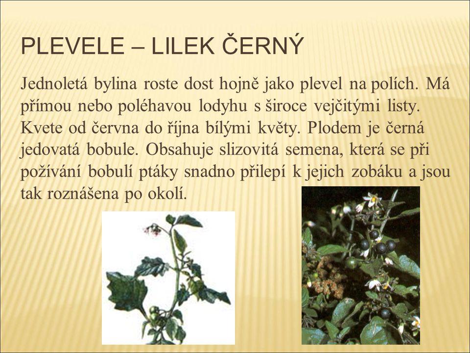 PLEVELE – LILEK ČERNÝ Jednoletá bylina roste dost hojně jako plevel na polích. Má přímou nebo poléhavou lodyhu s široce vejčitými listy. Kvete od červ