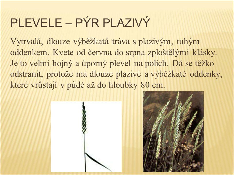 PLEVELE – PÝR PLAZIVÝ Vytrvalá, dlouze výběžkatá tráva s plazivým, tuhým oddenkem. Kvete od června do srpna zploštělými klásky. Je to velmi hojný a úp