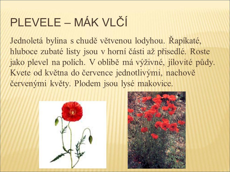 PLEVELE – MÁK VLČÍ Jednoletá bylina s chudě větvenou lodyhou. Řapíkaté, hluboce zubaté listy jsou v horní části až přisedlé. Roste jako plevel na polí