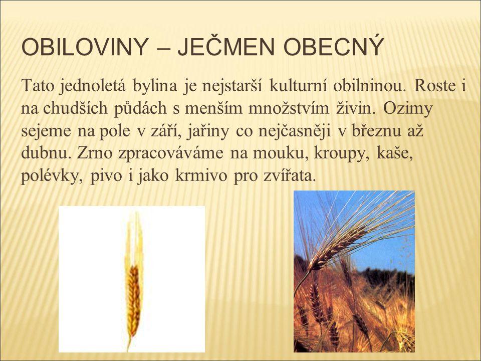OBILOVINY – JEČMEN OBECNÝ Tato jednoletá bylina je nejstarší kulturní obilninou. Roste i na chudších půdách s menším množstvím živin. Ozimy sejeme na