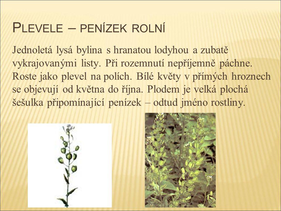 P LEVELE – PENÍZEK ROLNÍ Jednoletá lysá bylina s hranatou lodyhou a zubatě vykrajovanými listy. Při rozemnutí nepříjemně páchne. Roste jako plevel na