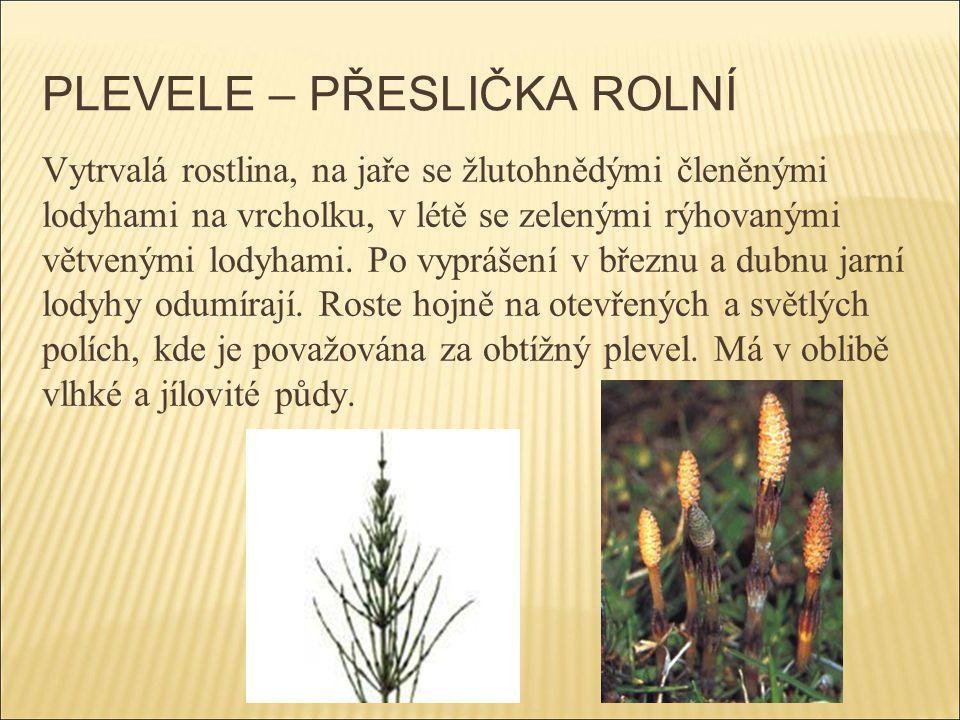 PLEVELE – PŘESLIČKA ROLNÍ Vytrvalá rostlina, na jaře se žlutohnědými členěnými lodyhami na vrcholku, v létě se zelenými rýhovanými větvenými lodyhami.