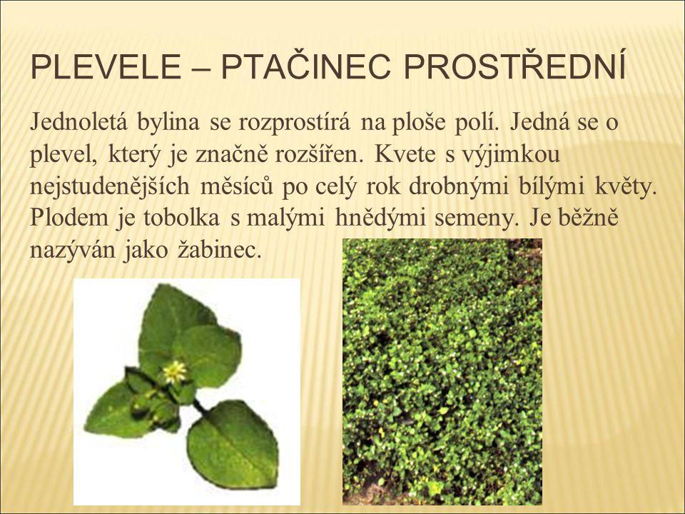 PLEVELE – PTAČINEC PROSTŘEDNÍ Jednoletá bylina se rozprostírá na ploše polí. Jedná se o plevel, který je značně rozšířen. Kvete s výjimkou nejstudeněj