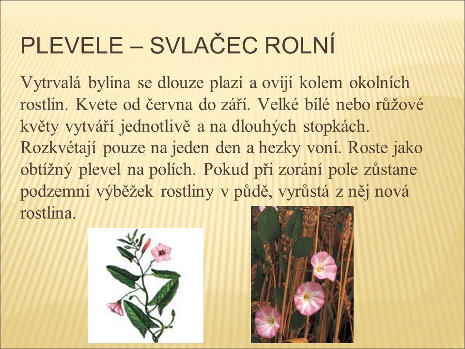 PLEVELE – SVLAČEC ROLNÍ Vytrvalá bylina se dlouze plazí a ovíjí kolem okolních rostlin. Kvete od června do září. Velké bílé nebo růžové květy vytváří