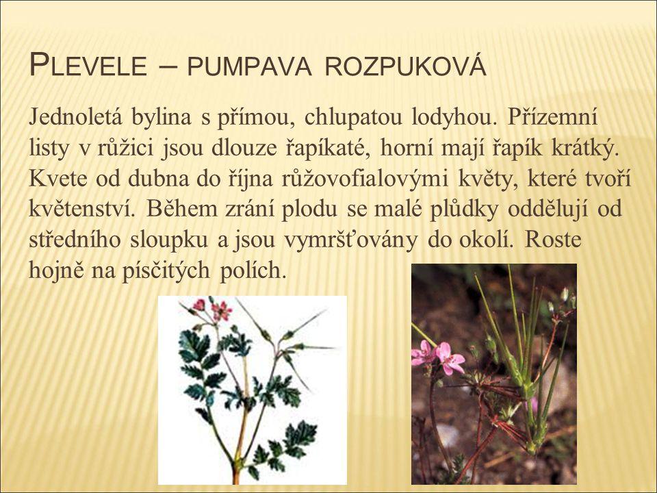 P LEVELE – PUMPAVA ROZPUKOVÁ Jednoletá bylina s přímou, chlupatou lodyhou. Přízemní listy v růžici jsou dlouze řapíkaté, horní mají řapík krátký. Kvet