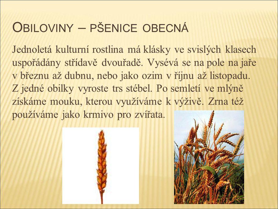 O BILOVINY – PŠENICE OBECNÁ Jednoletá kulturní rostlina má klásky ve svislých klasech uspořádány střídavě dvouřadě. Vysévá se na pole na jaře v březnu