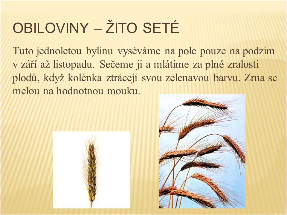 OBILOVINY – ŽITO SETÉ Tuto jednoletou bylinu vyséváme na pole pouze na podzim v září až listopadu. Sečeme ji a mlátíme za plné zralosti plodů, když ko