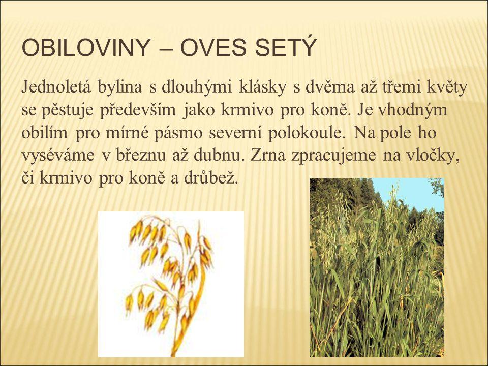 OBILOVINY – OVES SETÝ Jednoletá bylina s dlouhými klásky s dvěma až třemi květy se pěstuje především jako krmivo pro koně. Je vhodným obilím pro mírné
