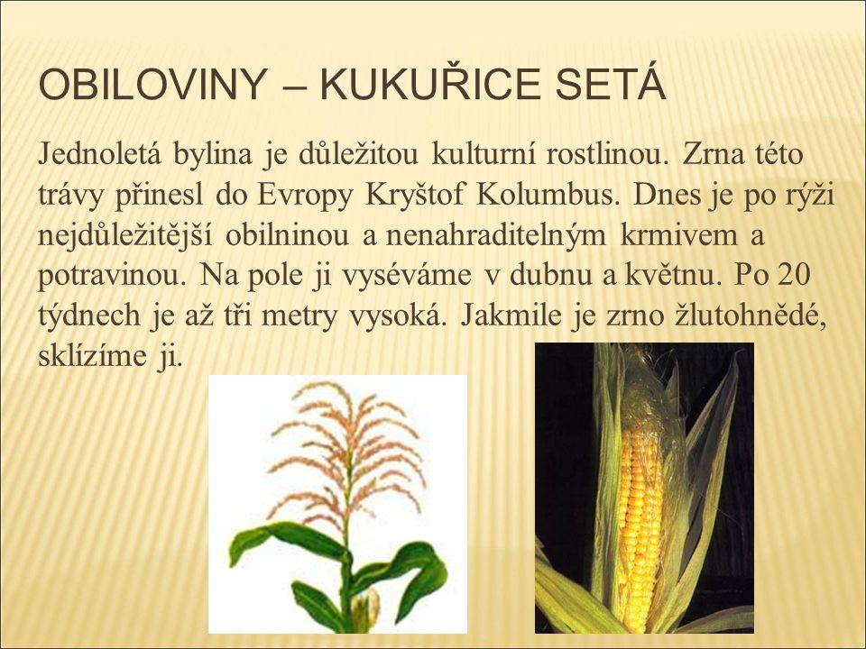 OBILOVINY – KUKUŘICE SETÁ Jednoletá bylina je důležitou kulturní rostlinou. Zrna této trávy přinesl do Evropy Kryštof Kolumbus. Dnes je po rýži nejdůl