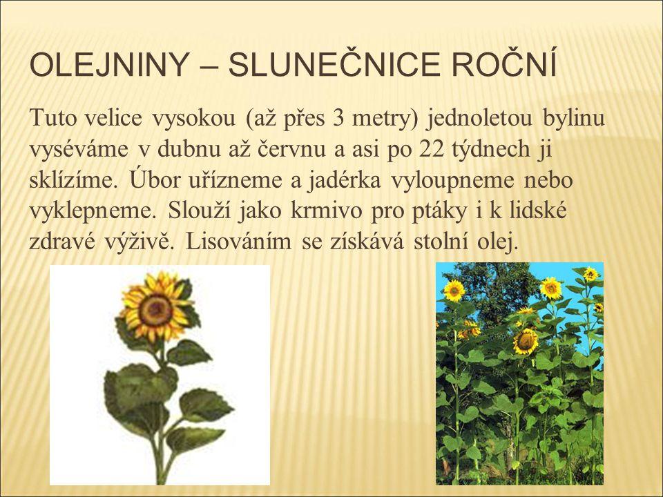 OLEJNINY – SLUNEČNICE ROČNÍ Tuto velice vysokou (až přes 3 metry) jednoletou bylinu vyséváme v dubnu až červnu a asi po 22 týdnech ji sklízíme. Úbor u