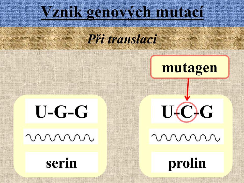 Vznik genových mutací Při translaci U-G-G serin U-C-G prolin mutagen