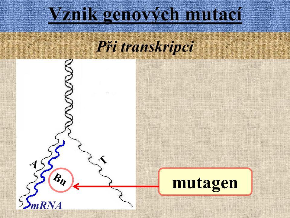 Vznik genových mutací mutagen Při transkripci A Bu mRNA T