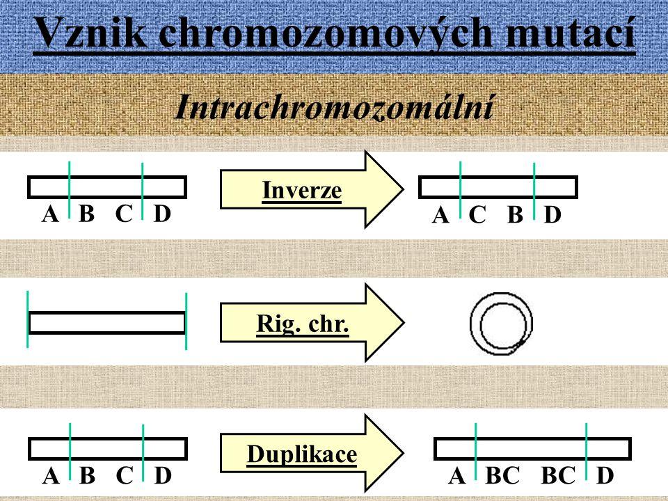 A B C D Vznik chromozomových mutací Intrachromozomální A C B D Inverze Rig. chr. Duplikace A B C DA BC BC D