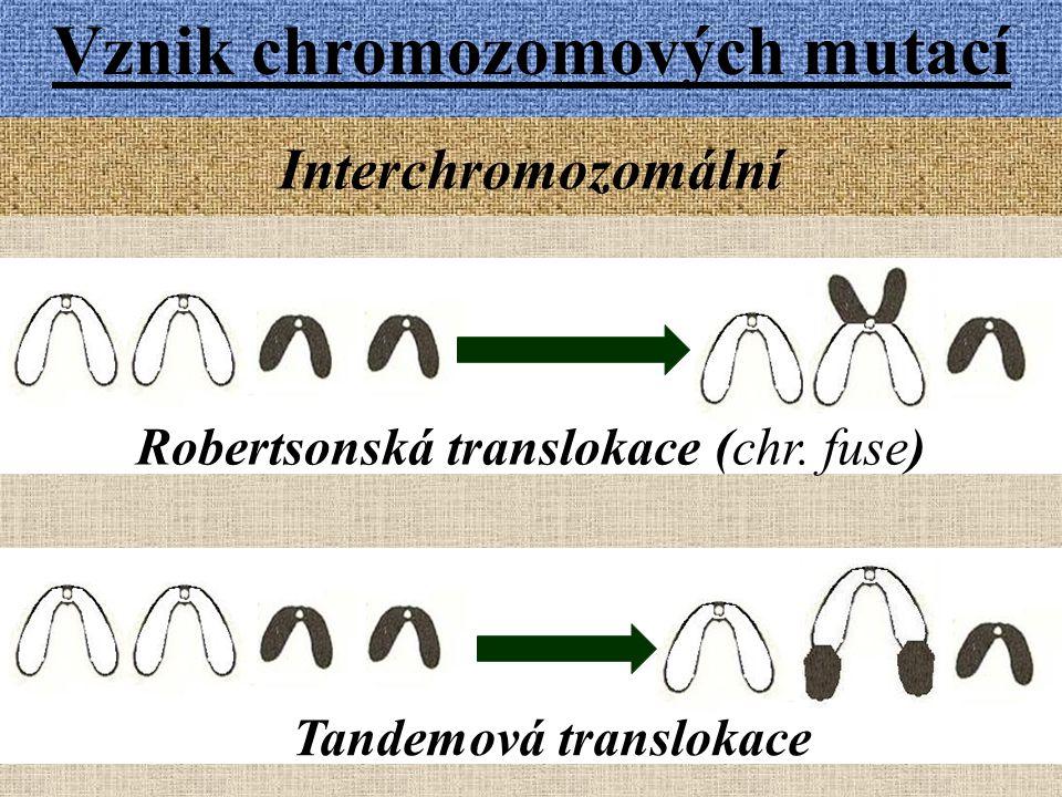 Vznik chromozomových mutací Interchromozomální Robertsonská translokace (chr.