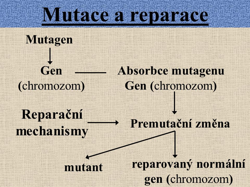 Mutace a reparace Mutagen Gen (chromozom) Absorbce mutagenu Gen (chromozom) Premutační změna Reparační mechanismy mutant reparovaný normální gen (chromozom)
