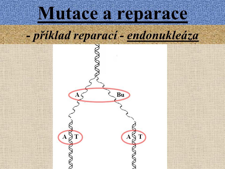 Mutace a reparace - příklad reparací - endonukleáza A T A Bu A T