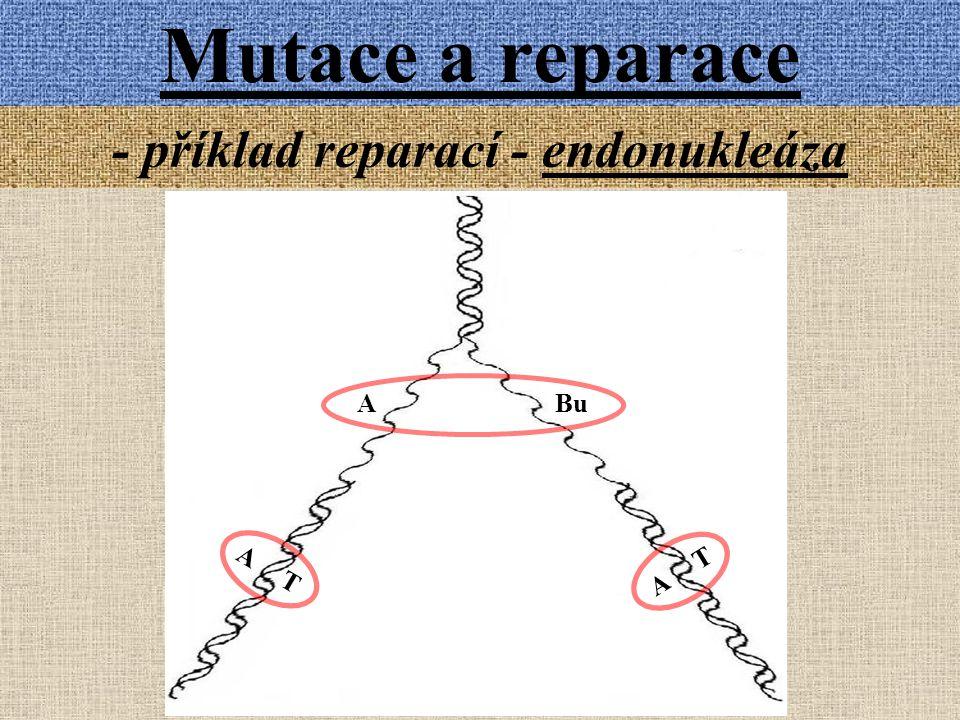 Mutace a reparace - příklad reparací - endonukleáza A Bu A T