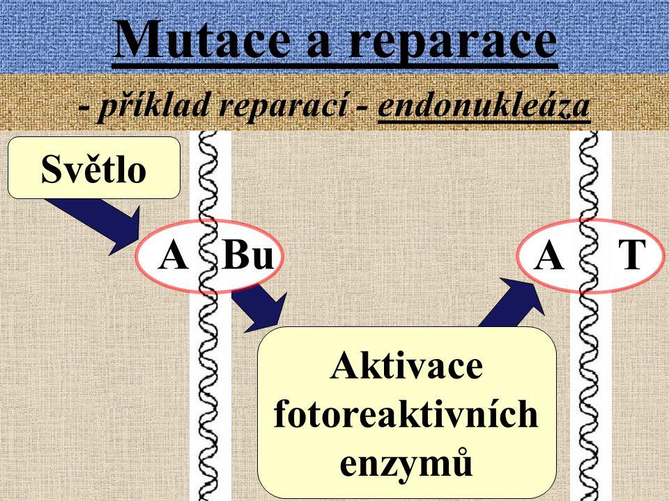 Mutace a reparace - příklad reparací - endonukleáza A Bu A T Světlo Aktivace fotoreaktivních enzymů
