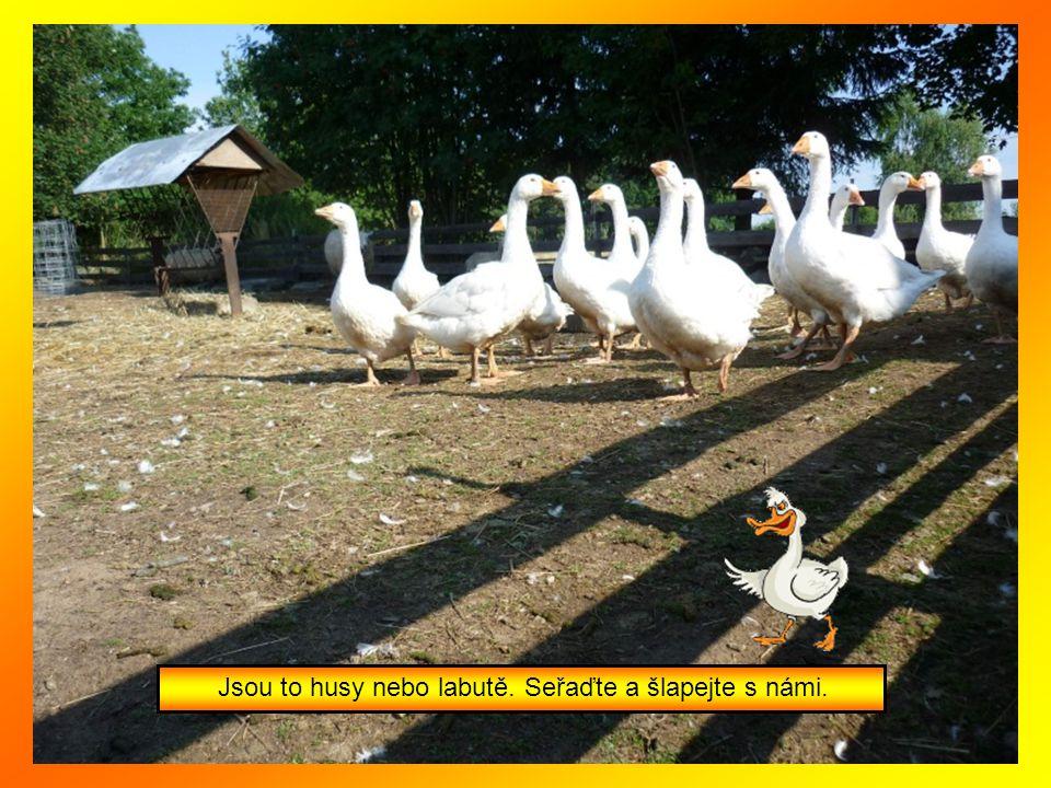 Jsou to husy nebo labutě. Seřaďte a šlapejte s námi.