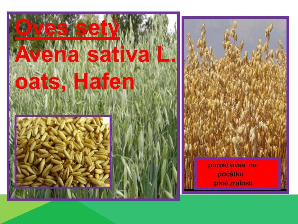 Oves setý Avena sativa L. oats, Hafen porost ovsa na počátku plné zralosti