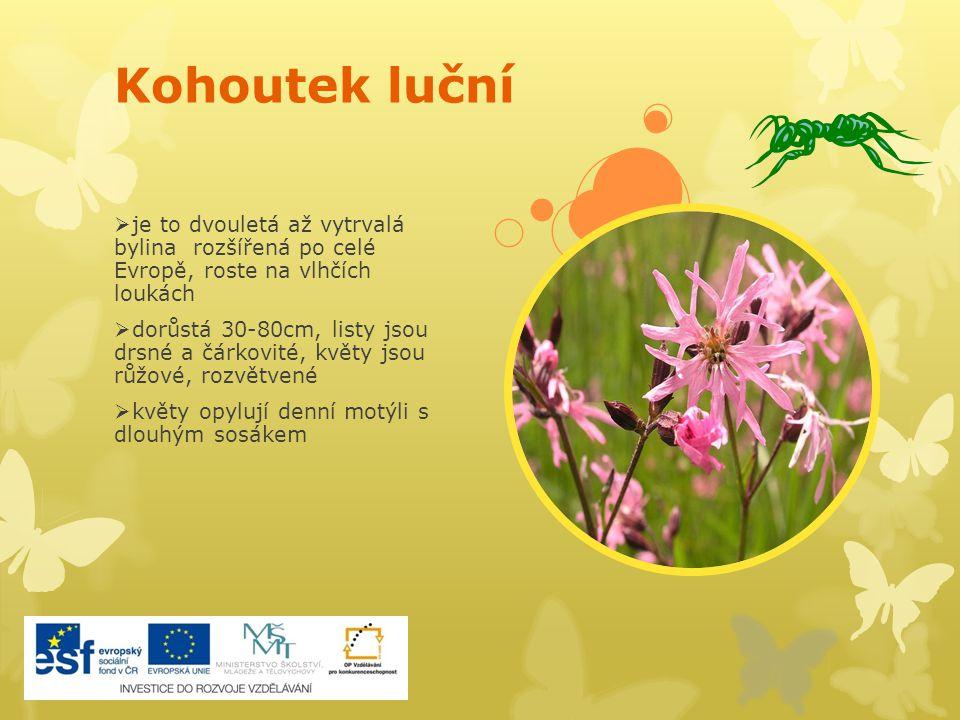 Kohoutek luční  je to dvouletá až vytrvalá bylina rozšířená po celé Evropě, roste na vlhčích loukách  dorůstá 30-80cm, listy jsou drsné a čárkovité,
