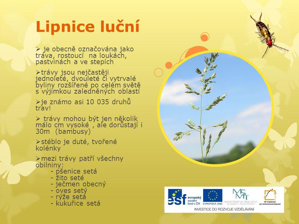 Lipnice luční  je obecně označována jako tráva, rostoucí na loukách, pastvinách a ve stepích  trávy jsou nejčastěji jednoleté, dvouleté či vytrvalé