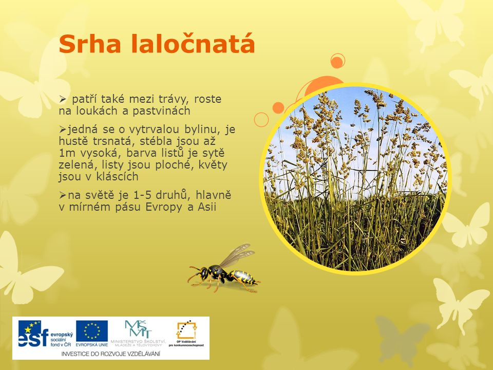 Srha laločnatá  patří také mezi trávy, roste na loukách a pastvinách  jedná se o vytrvalou bylinu, je hustě trsnatá, stébla jsou až 1m vysoká, barva
