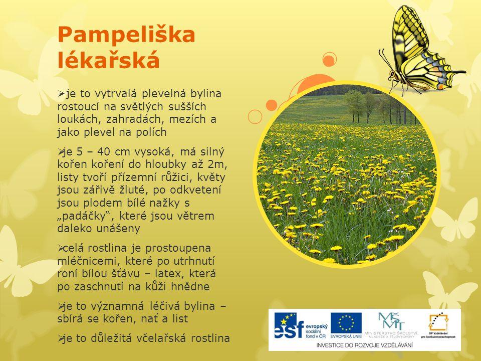 Pampeliška lékařská  je to vytrvalá plevelná bylina rostoucí na světlých sušších loukách, zahradách, mezích a jako plevel na polích  je 5 – 40 cm vy