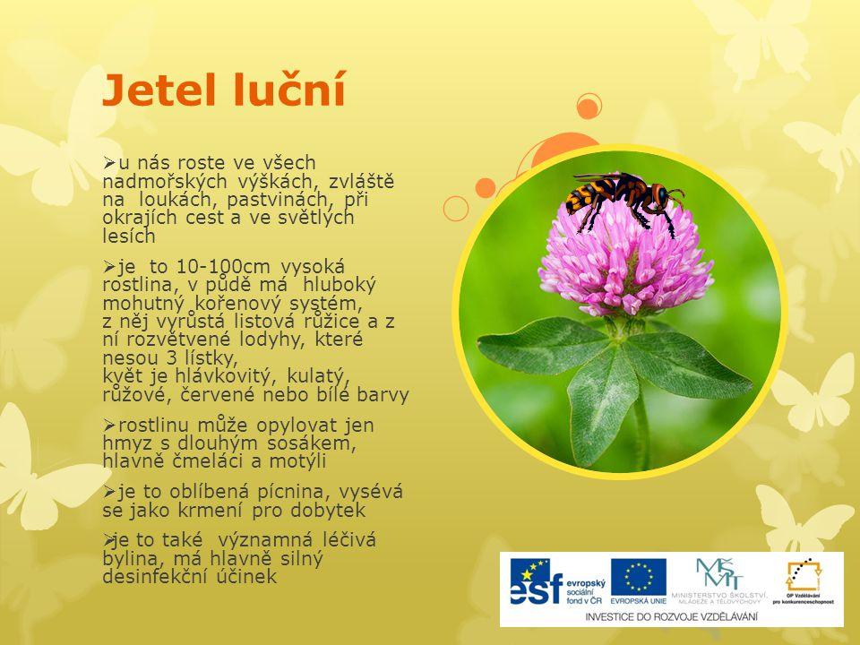 """Jetel plazivý  roste na loukách, v příkopech, na polích od nížin až do hor  je velký 10-30cm, lodyhy jsou plazivé, listy mají 3 lupeny, zřídka 4 – """" čtyřlístek , květy kulovité bílé nebo nazelenalé  listy, květy a lodyhy jsou velmi chutné, chuť je sladká, mírně nahořklá, květy jsou bez vůně  je to významná rostlina pro včely  patří také mezi pícniny"""