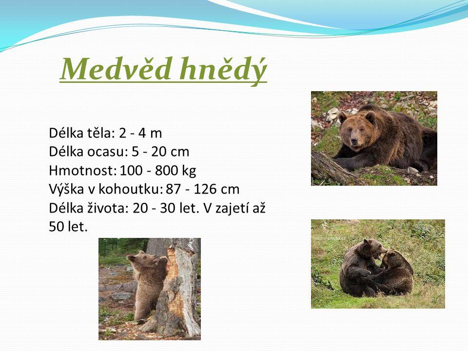 Medvěd hnědý Délka těla: 2 - 4 m Délka ocasu: 5 - 20 cm Hmotnost: 100 - 800 kg Výška v kohoutku: 87 - 126 cm Délka života: 20 - 30 let.