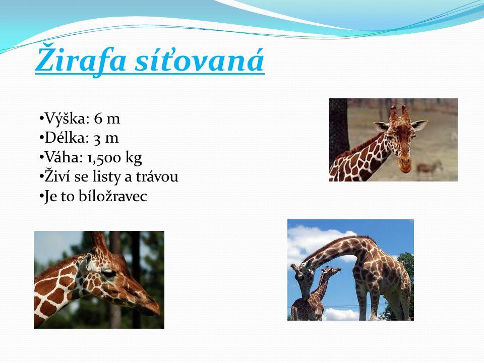 Žirafa síťovaná Výška: 6 m Délka: 3 m Váha: 1,500 kg Živí se listy a trávou Je to bíložravec