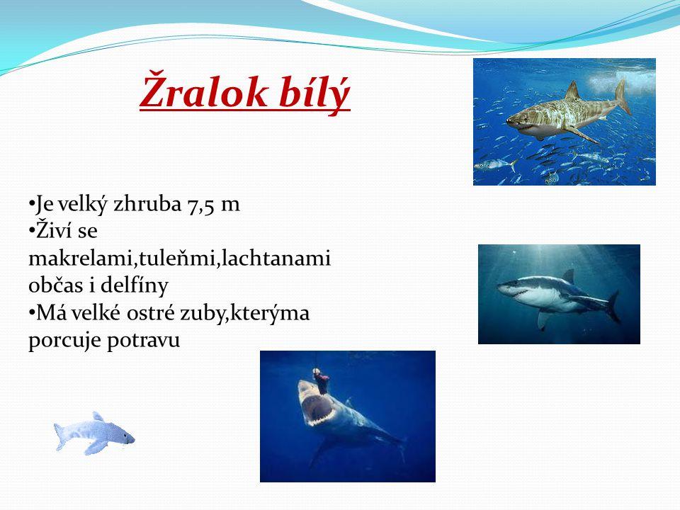Žralok bílý Je velký zhruba 7,5 m Živí se makrelami,tuleňmi,lachtanami občas i delfíny Má velké ostré zuby,kterýma porcuje potravu