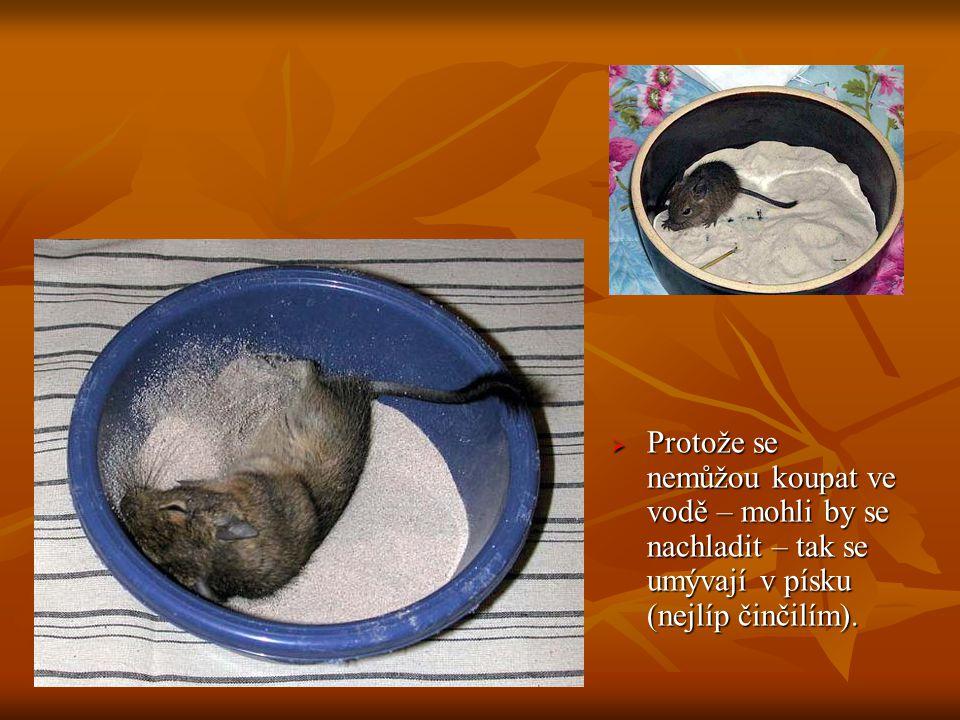  Protože se nemůžou koupat ve vodě – mohli by se nachladit – tak se umývají v písku (nejlíp činčilím).